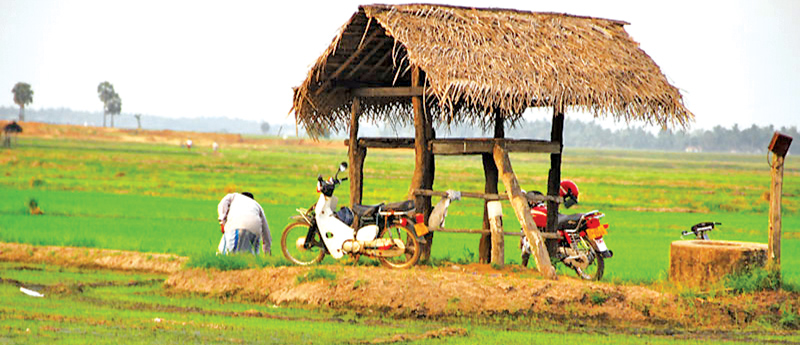 Motorbikes parked on the bunds of the paddy fields Ampara