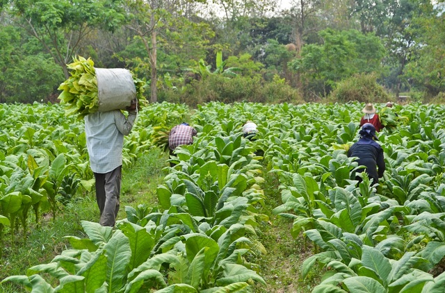 Tobacco cultivation to be banned by 2020 | Daily News