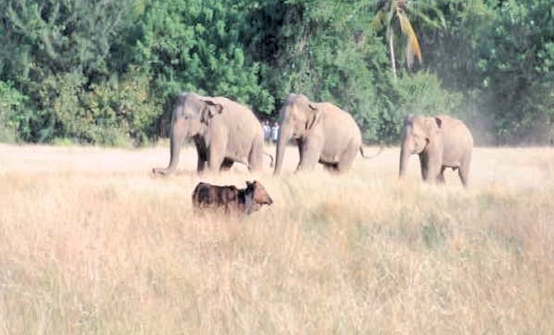 Wild elephants rampage across villages in Ampara