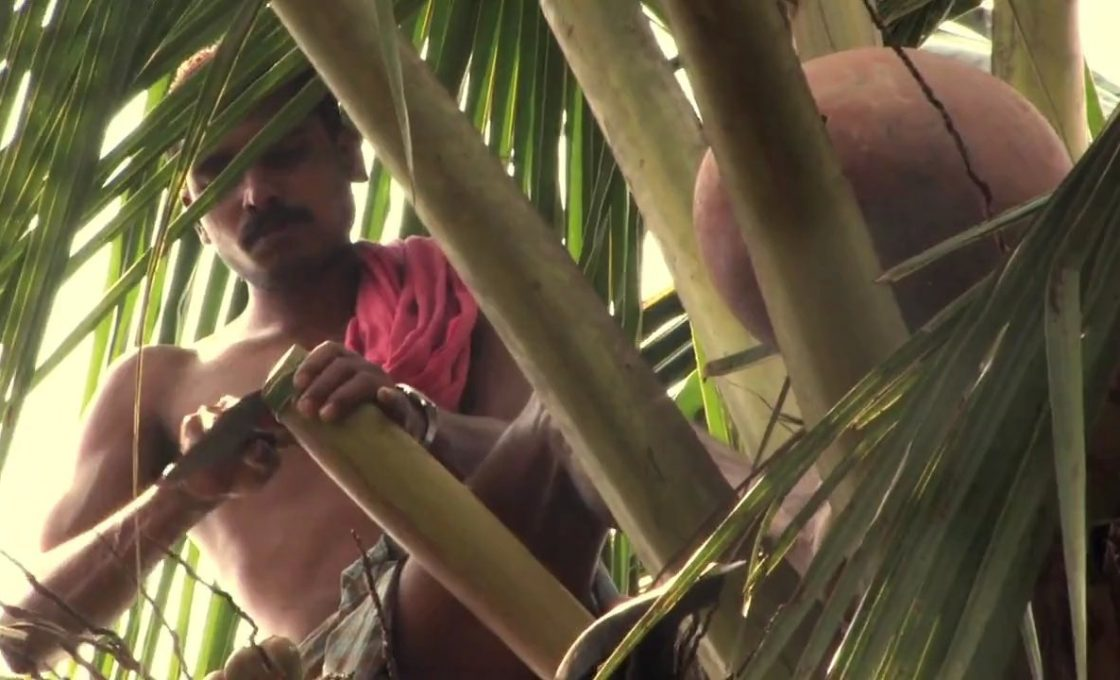 Coconut and palmyrah toddy tapping to be brought under license