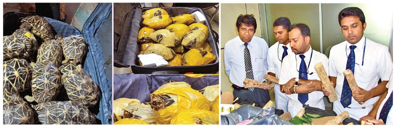 Some of the detections made by the Customs include live star tortoises and Kothala Himbutu mugs and barks.