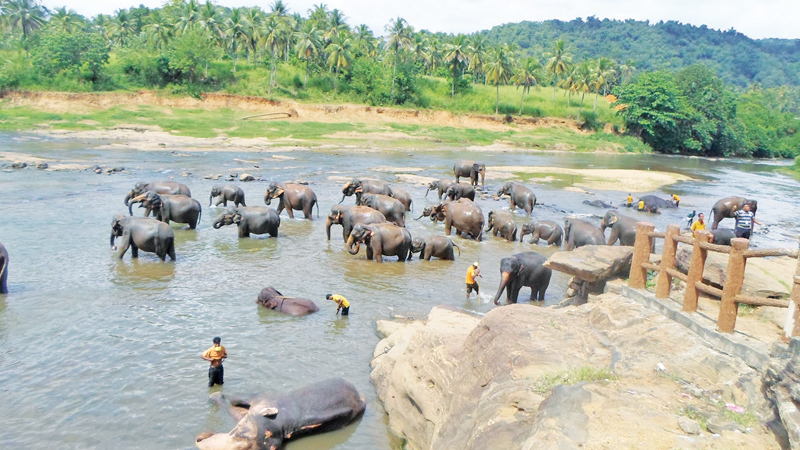 Elephants bathing in Maha Oya.