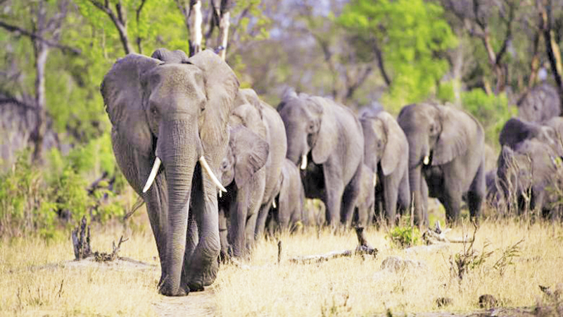 Zimbabwe's elephants are overcrowding national parks, encroaching into human settlements, destroying crops and posing a risk to human life.