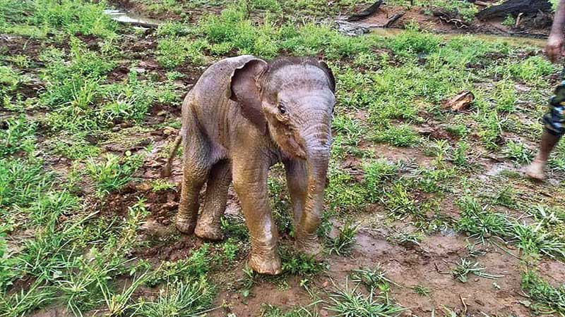 The baby elephant which had fallen into a well in Elagamuwa village was rescued by Wildlife officers.