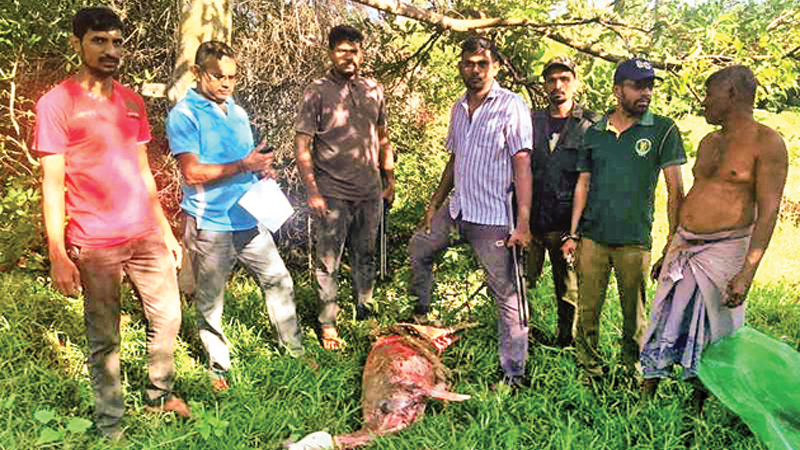 The wildlife officers inspect the slaughtered doe. Picture by W. A. Piyathilake