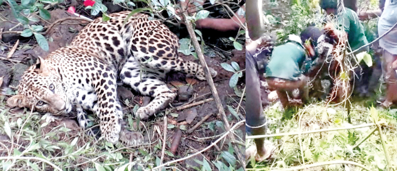 The leopard was caught in a trap at a tea estate in Doragala, Dawatagaha. Inset: Wildlife officers rescue the the leopard.  Pictures by Asela Kuruluwansa