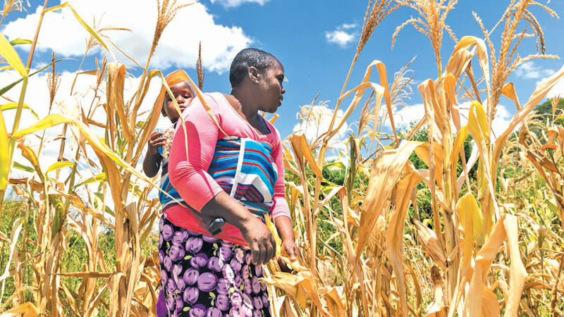 Corn farmer Future Nyamukondiwa inspects a stunted cob in her dry maize field in the Mutoko rural area of Zimbabwe. - AFP