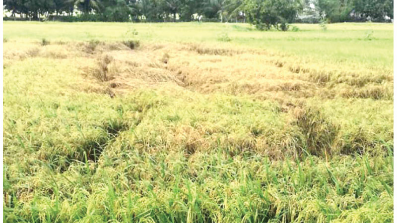 An affected paddy field.