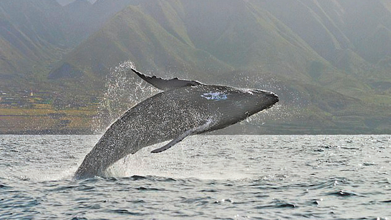 Humpback whale rising out of the water