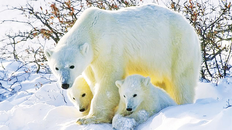 Polar bears rely on using sea ice to hunt seals for food and then mate, have cubs and raise them. But this crucial sea ice is vanishing at an alarming rate due to climate change and it has been proved that it is causing the animals significant problems
