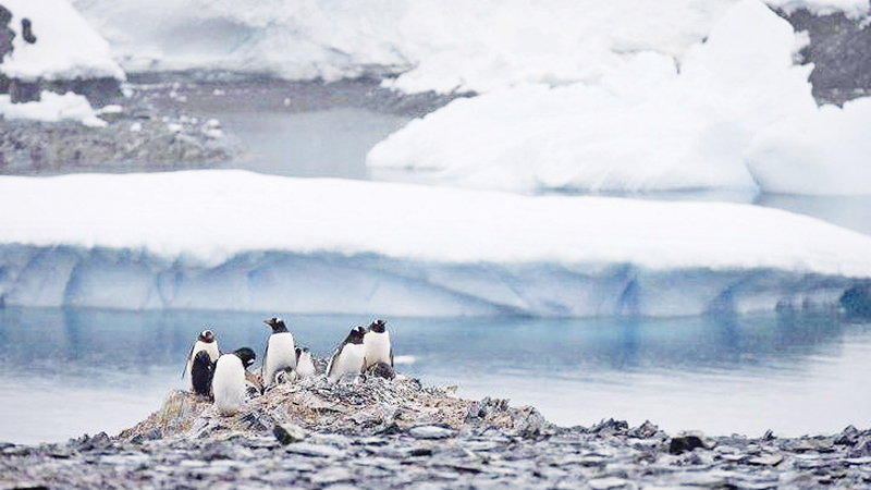 Chinstrap penguin colonies in Antarctica which are dependent on sea ice have declined by more than 50 per cent.
