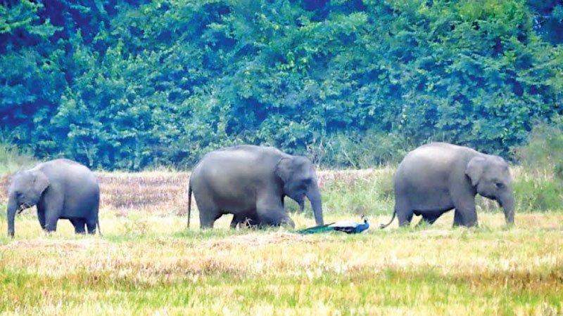 Wild elephants in a paddy field in Dadayanthalawa.  Picture by I.L.M. Rizan, Addalaichenai Central Corr.
