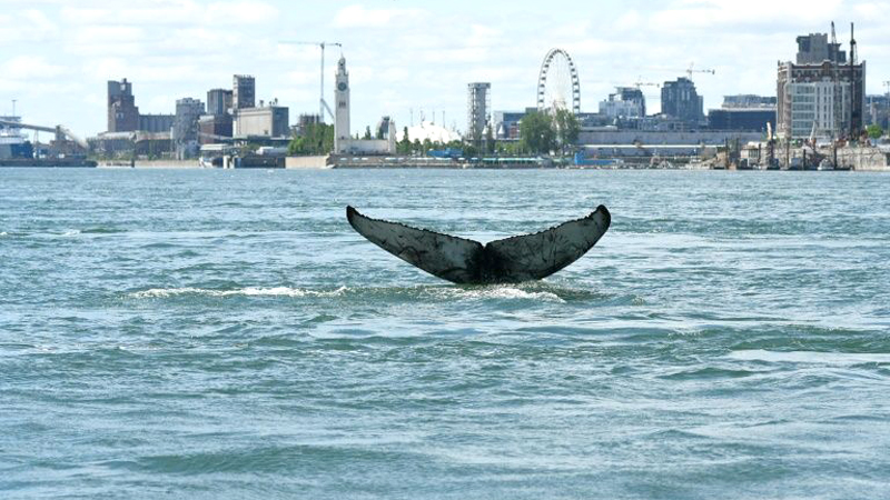 The humpback has been seen exploring the waters off Montreal, hundreds of kilometres from the waters it usually calls home.
