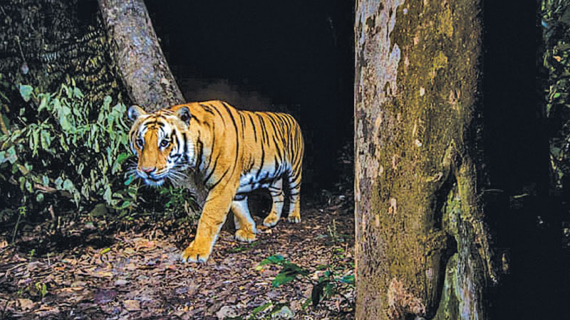 A tiger in Bardia national park, Nepal, a species that is showing signs of recovery.