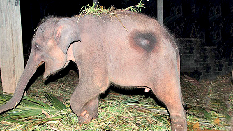 Corruption of some wildlife officers and undue political and other interference are major challenges to overcome the illegal capture and domestic trade of wild elephants in Sri Lanka, a recent study has highlighted.