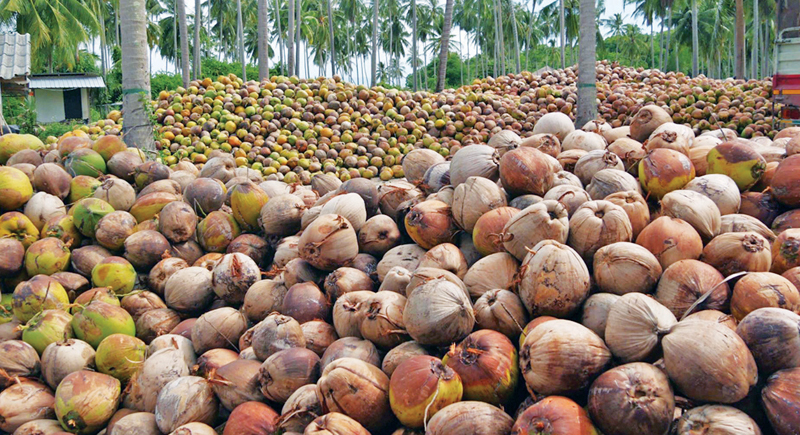 Plucked output from a Sri Lankan coconut plantation