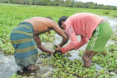 Farmers and fishermen removing the salvinia. Picture by A. A. L. DIAS, Matale District Group Corr.