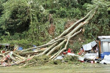 The collapsed tree Picture by Saman Vijaya Bandara