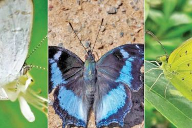 The Sinhalese Five-Ring Butterfly (Ypthima singala), a species endemic to Sri Lanka