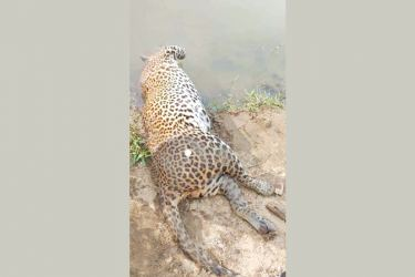 The leopard was found dead at the Mau Ara Tank.