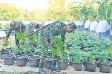 STF officers inspecting the cannabis cultivation. Picture by Mihira Wijesekara, Marawila Group Corr.