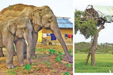 A view of a typical treehouse in which a farmer would sit at night to protect rice paddies from rogue elephants.