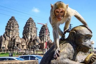 Longtail macaque climbing on top of a monkey statue in front of Thailand's Prang Sam Yod Buddhist temple. AFP