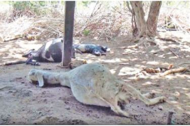 The goat carcasses in the stable. Picture by Rasula Dilhara Gamage, Northern Province Special Corr.