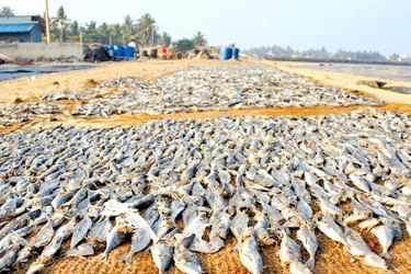 Fish drying on the beach