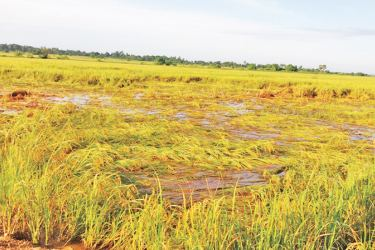 A half-harvested paddy cultivation. Picture by I.L.M.RIZAN
