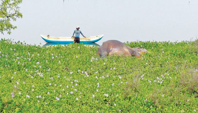 The elephant carcass in the Janaranjana wewa.  Picture by A.T.M. Gunanda, Trincomalee Special Corr.