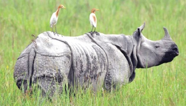 Nepal's population of endangered one-horned rhinoceros sees an increase.