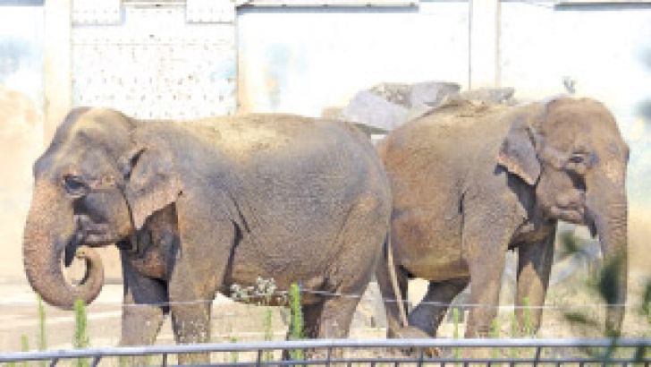 """Baby and Nepal, two elephants suspected of suffering from tuberculosis, are seen in their enclosure on July 11 at the """"Parc de la Tête dOr"""" Zoo in Lyon, central eastern France. AFP"""