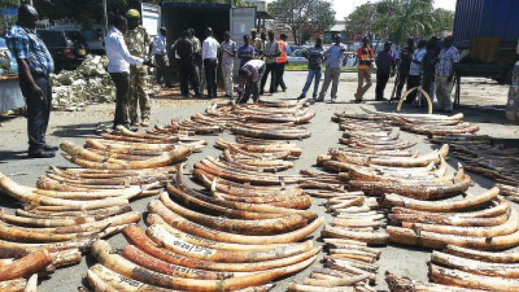 """A handout image released by the Kenya Wildlife Services (KWS) shows ivory seized at Mombasa port on July 8. The ivory was intercepted in a 20 feet container awaiting shipment for Malaysia. The ivory was disguised as groundnuts, wrapped and some stashed into sacks. """"Some of the ivory weighs almost 60 Kilograms an indication that they were hacking off ivory tusks from big Elephants,"""" an official noted. The ivory weighed 3,287kg (3tonnes) and comprised of 382 whole pieces and 62 cut pieces. AFP"""