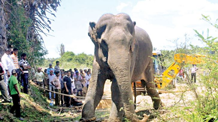 An elephant which had been terrorising villagers in Vellaveli, Batticaloa was captured by Wildlife  Department officials. The elephant is said to have killed several people and had also caused destruction to crops and property in the area. An 18 member team of wildlife officers headed by Eastern Province Wildlife Department  veterinary surgeon Nihal Pushpakumara nabbed the elephant three days after launching an operation to capture  it. Villagers had also engaged in several protests during  the past few day