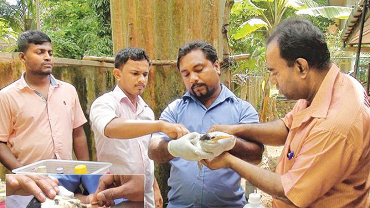 Wildlife Department officers treating the seagull. Pictures by Anuradhapura central special cor