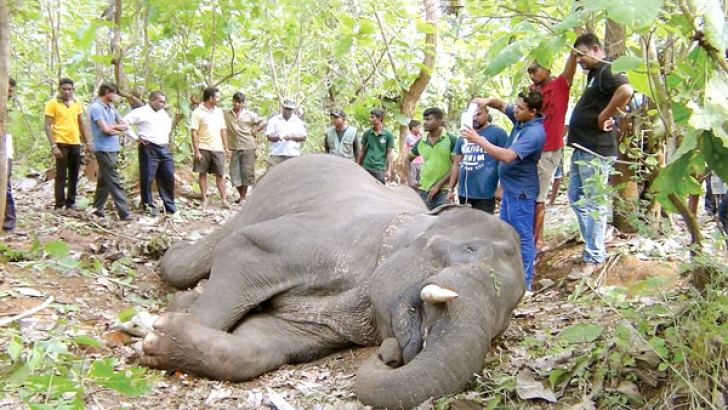 Wildlife Department veterinary surgeons treating the sick tusker. Picture by Puttalam Group Corr.