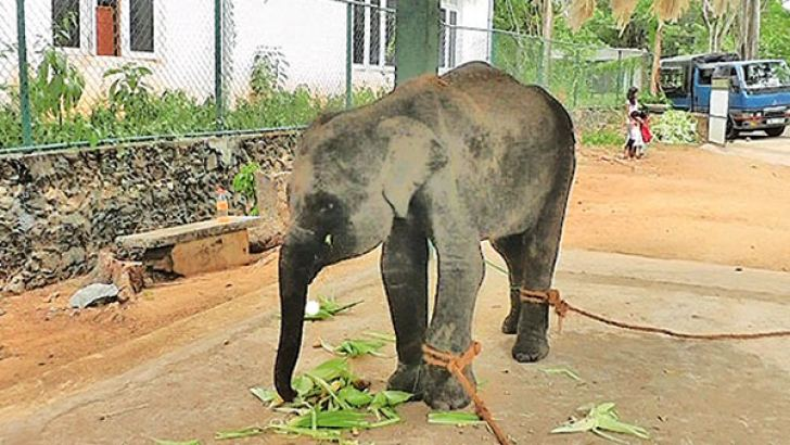 The baby elephant which was treated at the Anuradhapura Wildlife Veterinary Unit. Picture by Anuradhapura central special cor