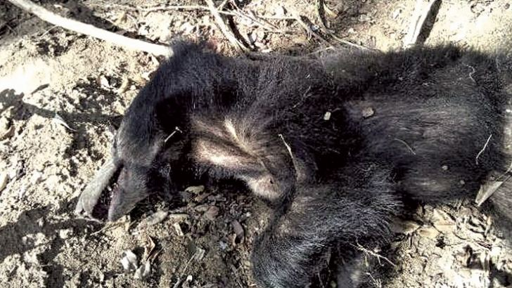 The bear killed by the trap. Picture by Anuradhapura Central Special Corr.