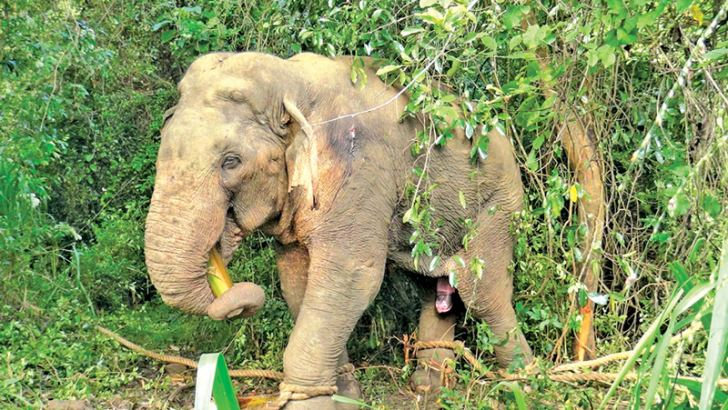 The harmless blind elephant tied after being tranquilized by Wildlife Dept officials.