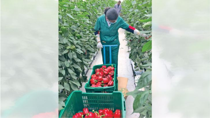 Bell Pepper being harvested at a CIC farm