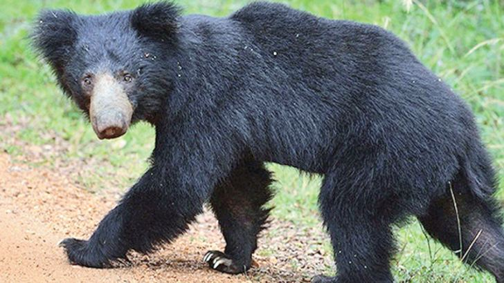 A sloth bear that had escaped from the Girithale veterinary hospital was shot by officials last Friday.