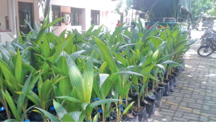 Stock of Coconut saplings that were sold at subsidised rate to government officials.  Picture by M. U. M. Sanoon