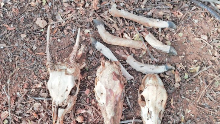 Remains of deer found at one of the plants. Picture by Lunama Group Corr.