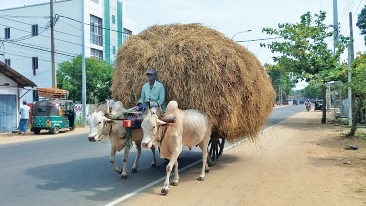 Straw being transported from Oluvil paddy land area in the Addalaichenai DS division to Akkaraipattu DS division.