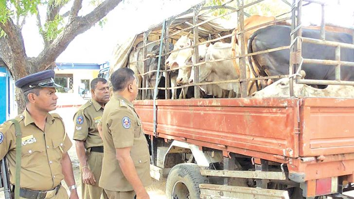 Police appehended the man transporting the cattle in an overcrowded vehicle.