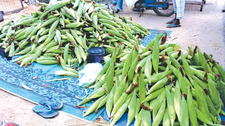 The maize is sold in the coastal areas of the Ampara district.