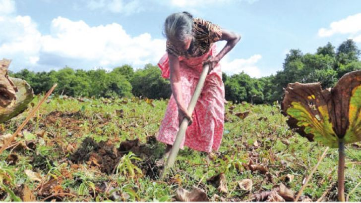 A woman digs for lotus yams in a dry Pahalawewa tank.