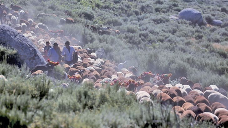 Shepherds direct their herd as they migrate to summer pastures in Serra da Estrela, near Seia, Portugal.