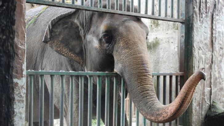 Mali is still in captivity at Manila Zoo. She has been kept in solitary confinement there for over 40 years.